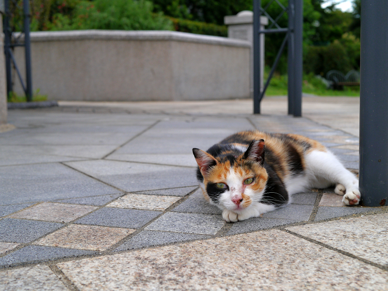 公園で寝てた三毛猫3