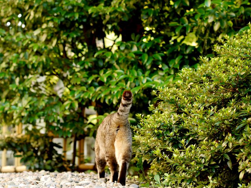 尻尾が立ってるキジトラ猫2
