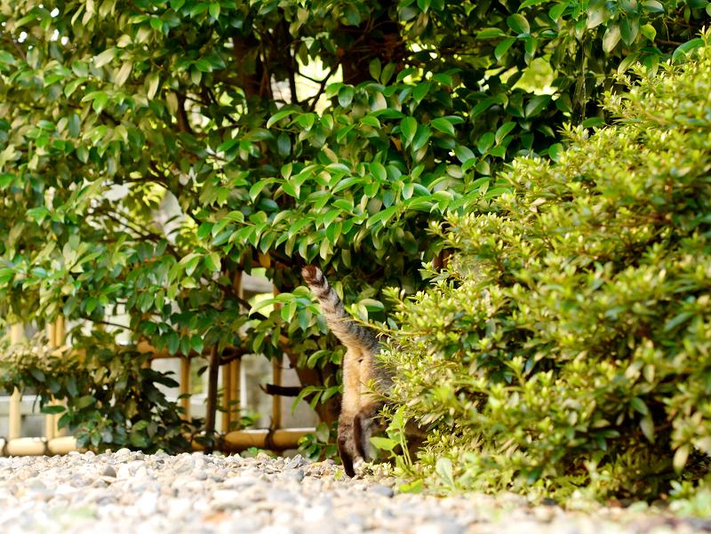 尻尾が立ってるキジトラ猫3
