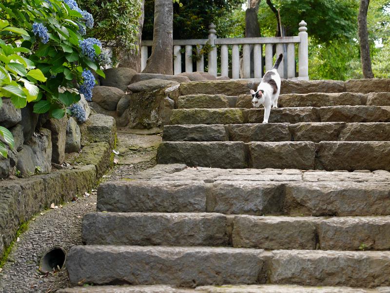 石階段を降りる白キジ猫1