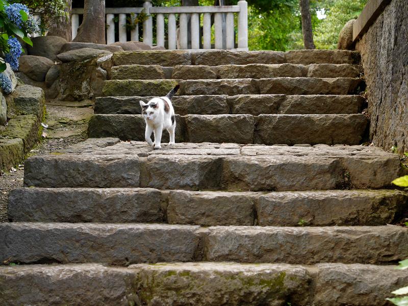 石階段を降りる白キジ猫2