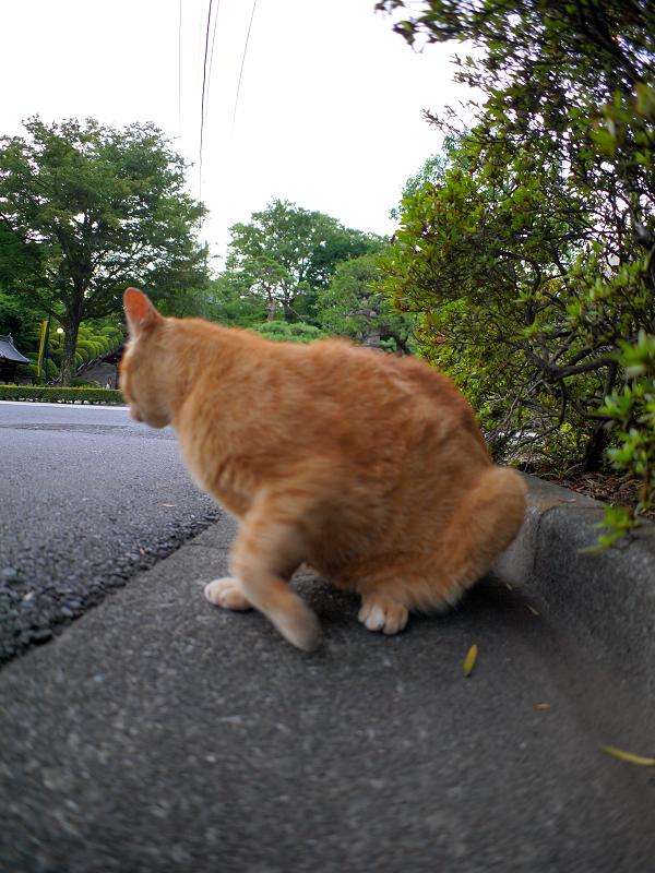 腹ばってる茶トラ猫3