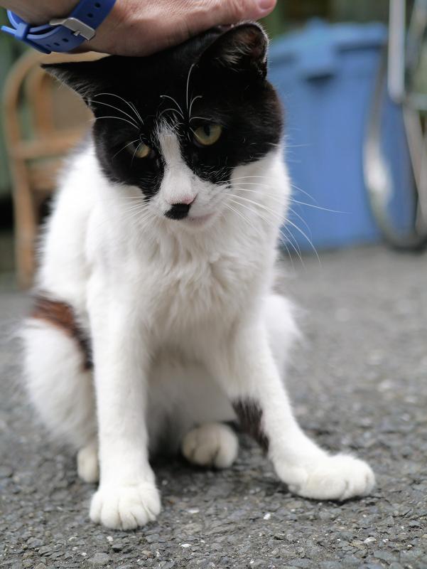 頭をなでられる白黒猫1