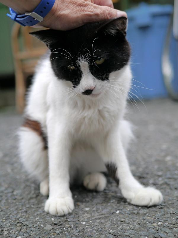 頭をなでられる白黒猫2