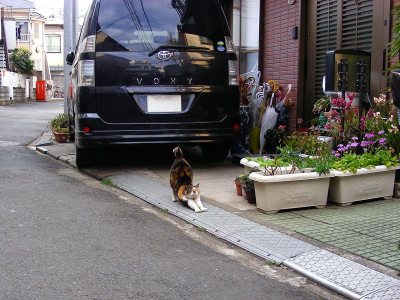 路地で伸びする三毛猫1