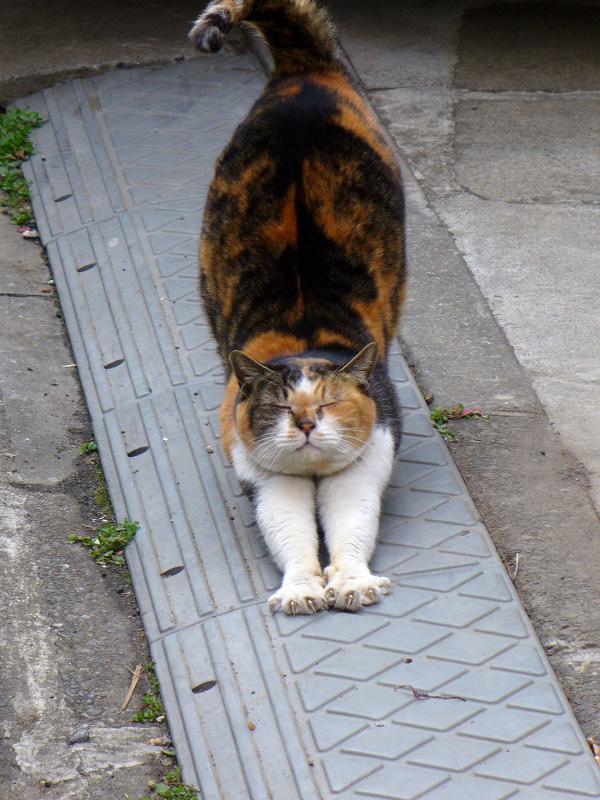 路地で伸びする三毛猫2