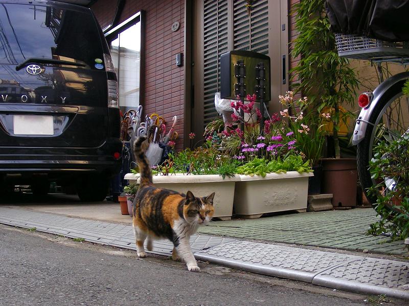 路地で伸びする三毛猫3