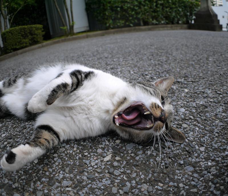 仰向けのキジ白猫1