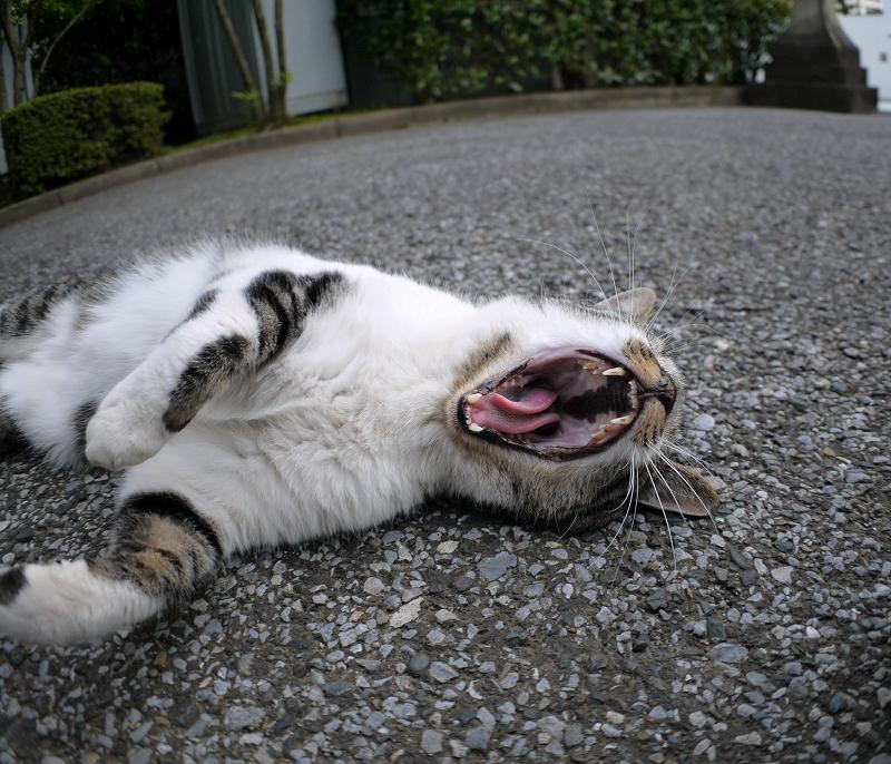 仰向けのキジ白猫2