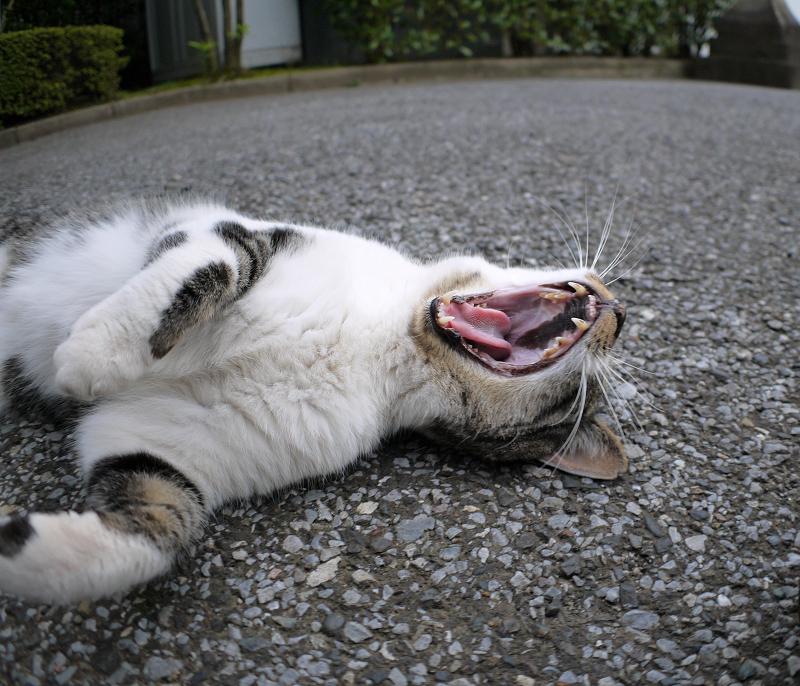 仰向けのキジ白猫3
