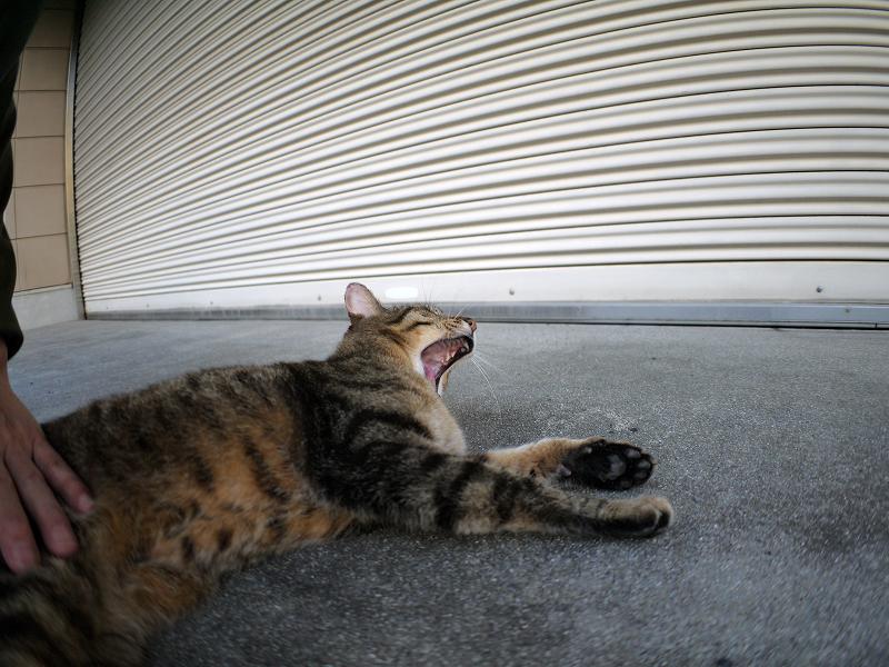 シャッター前で欠伸するキジトラ猫1