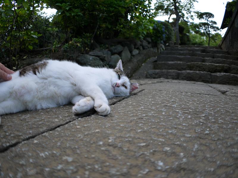 足元で寝そべる白キジ猫1