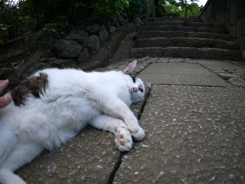 足元で寝そべる白キジ猫2