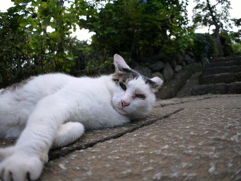 足元で寝そべる白キジ猫3
