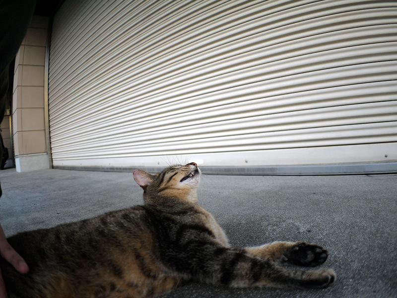 ガレージ前のキジトラ猫1