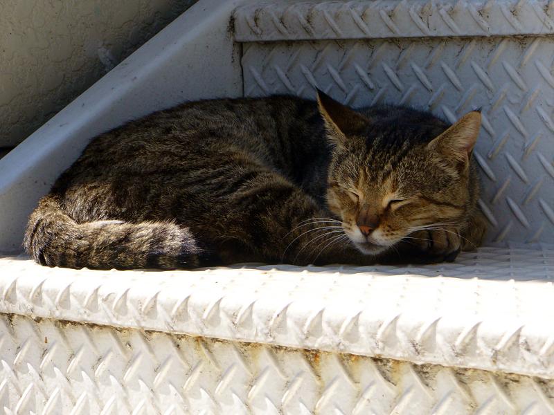 階段で寝てるキジトラ猫1