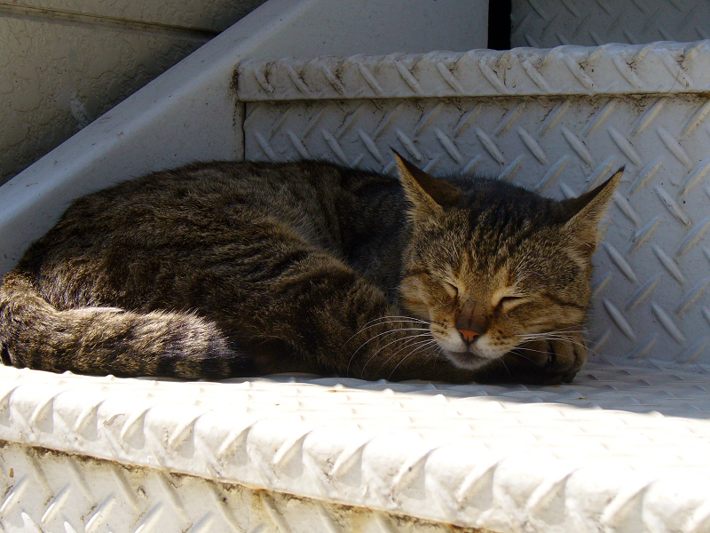 階段で寝てるキジトラ猫2