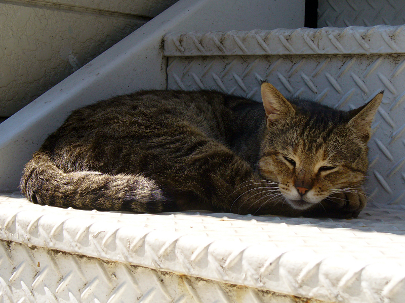 階段で寝てるキジトラ猫3