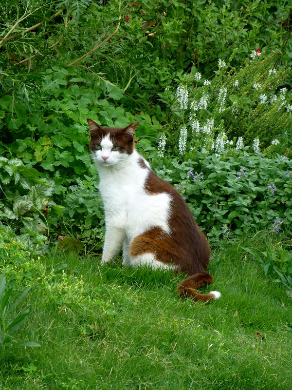 草むらの焦げ茶白猫1
