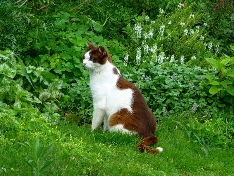 草むらの焦げ茶白猫2