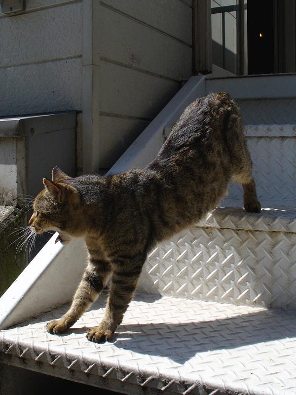 階段から降りてきたキジトラ猫2
