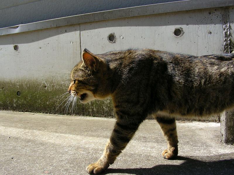 階段から降りてきたキジトラ猫3