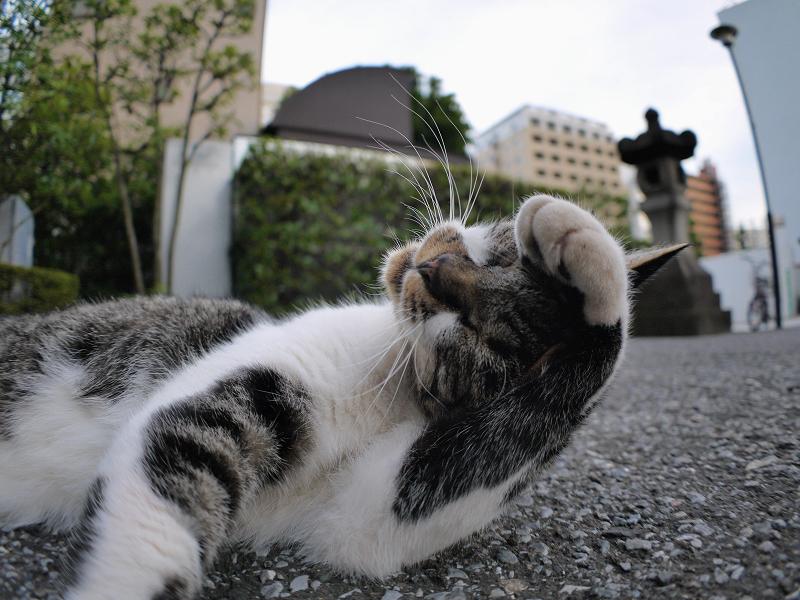 連続ベロ出しキジ白猫1