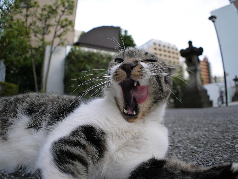 連続ベロ出しキジ白猫2
