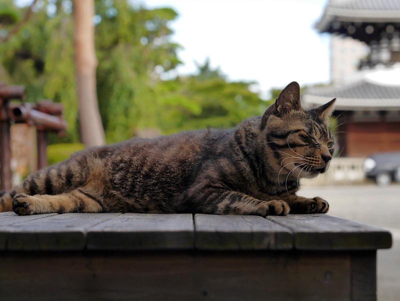 境内ベンチとキジトラ猫2
