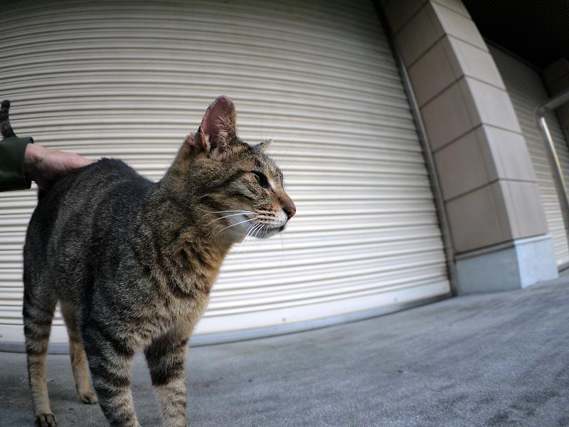 ガレージシャッター前のキジトラ猫1