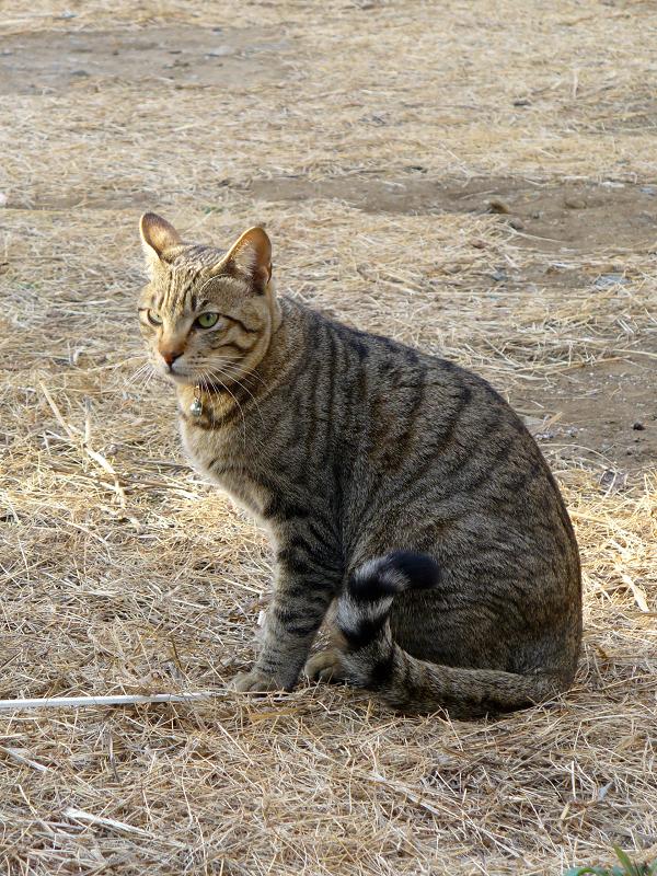 草むらとキジトラ猫1