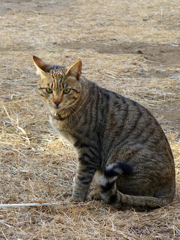 草むらとキジトラ猫2