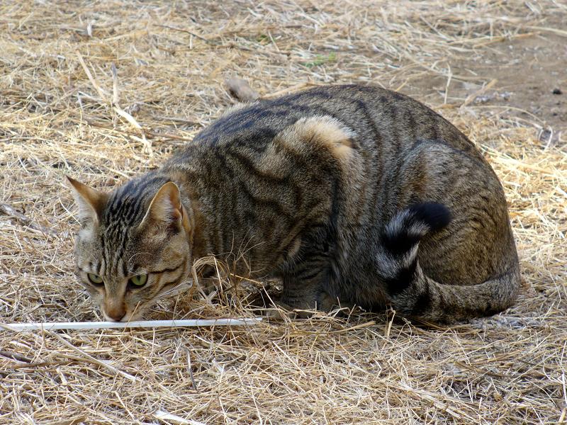 草むらとキジトラ猫3