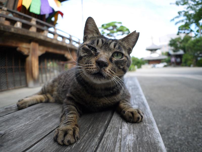 木製ベンチのキジトラ猫1