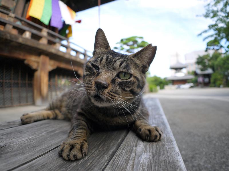 木製ベンチのキジトラ猫2