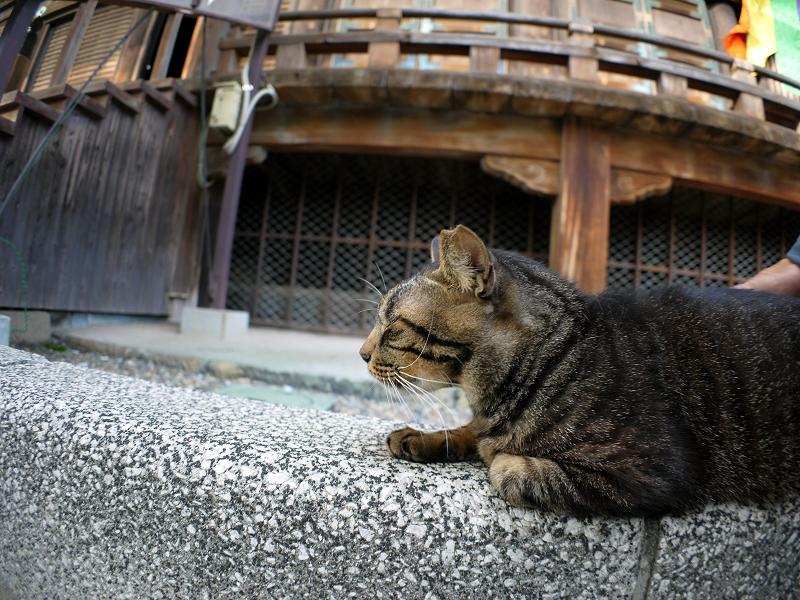 本堂横のキジトラ猫1