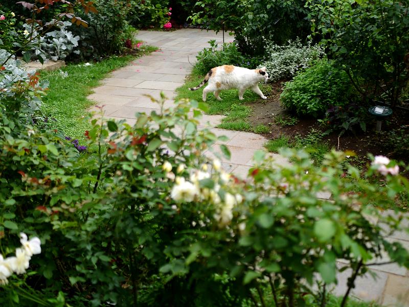 ローズガーデンの三毛猫1