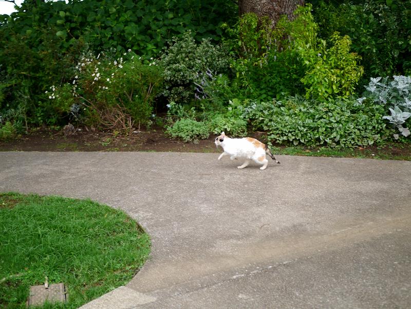 ローズガーデンの三毛猫2