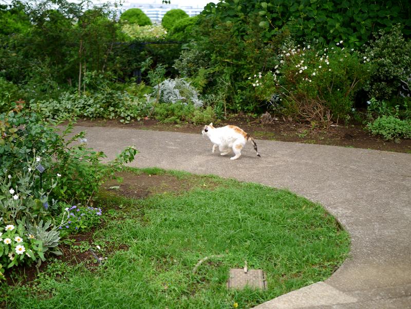 ローズガーデンの三毛猫3