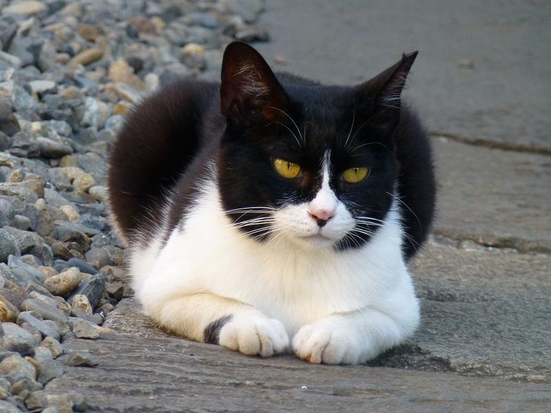 黒マスクの黒白猫1
