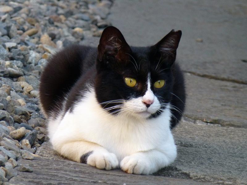 黒マスクの黒白猫2