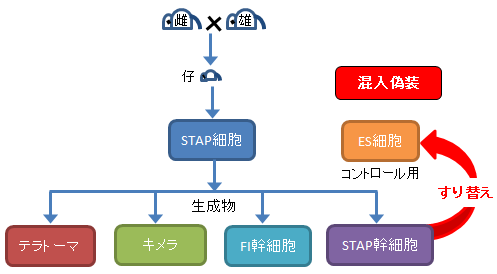 STAP細胞実験-5