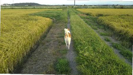金色(こんじき)に色づいた田んぼとゴンタ