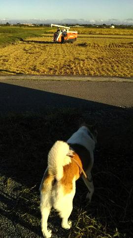コンバインで収穫中の田んぼとゴンタ