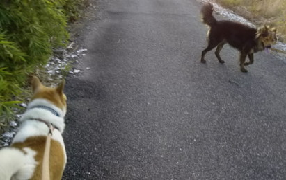ゴンタと散歩に出ると、クロが一緒に行きたいと寄ってきた