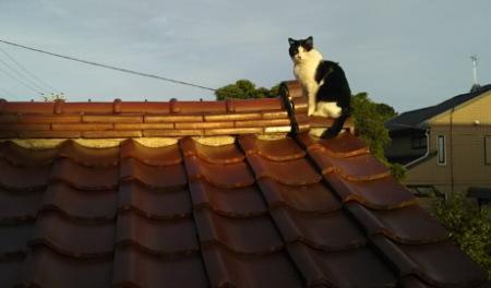 屋根の上の白黒猫「あさ」