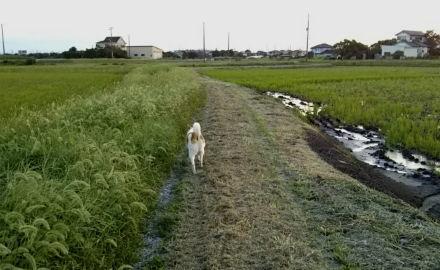 草刈後で歩きやすくなった散歩道