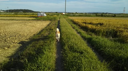 向かって右の田んぼは黄金色、左の田んぼは稲刈りがおわっている
