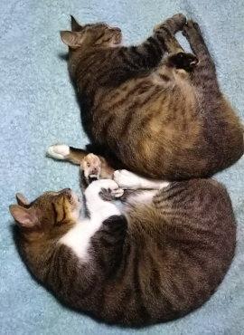 同じ格好で寝るキジトラ白「トシ」とキジトラ「あや」