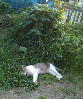 青シソの葉陰で昼寝するキジトラ白「ゆい」